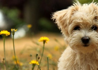 Dog Groomed by Angelic Pet Services in Burleson Texas